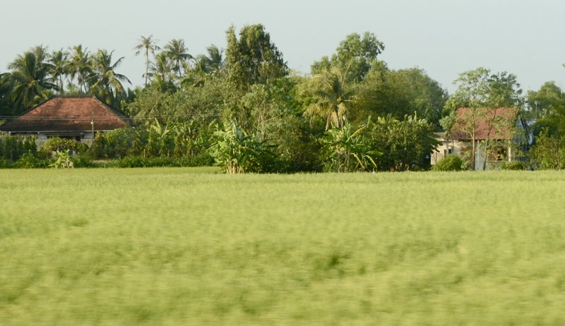 o verde dos arrozais