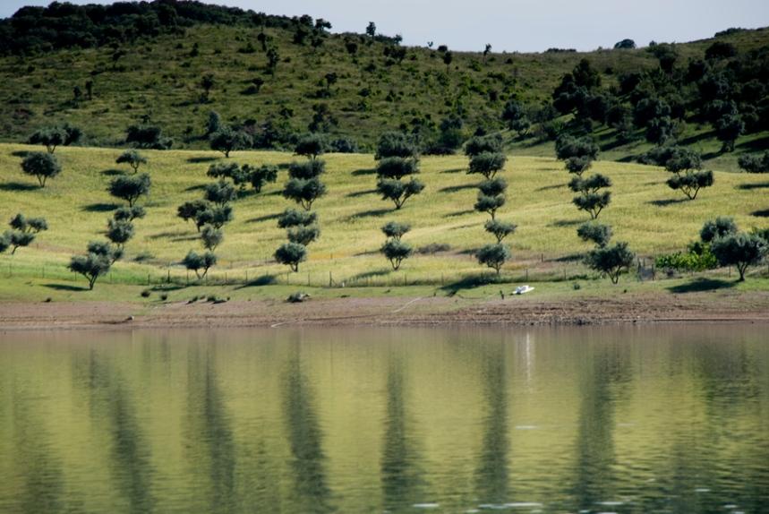 Olival junto da barragem