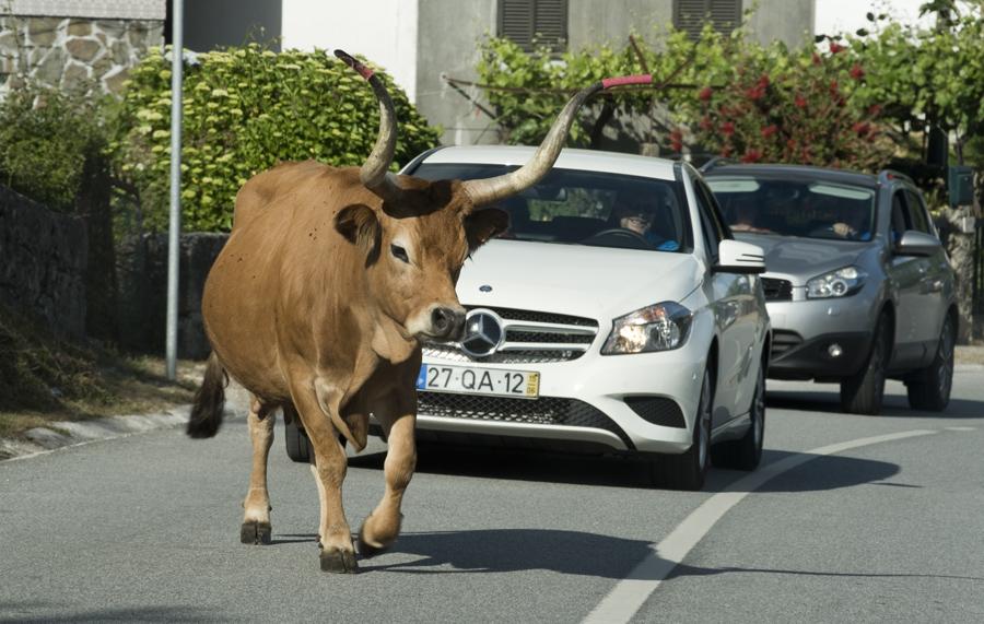 Vaca de raça cachena