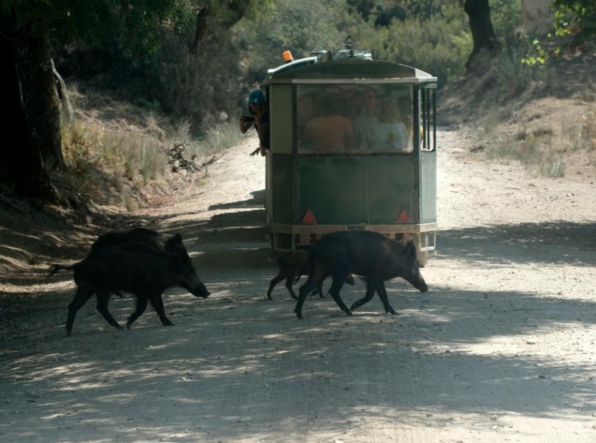 Javalis atravessam caminho depois da passagem do comboio turístico