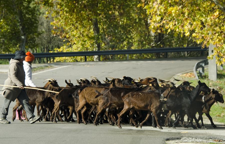 As deslocações com gado são apenas em pequenas distâncias