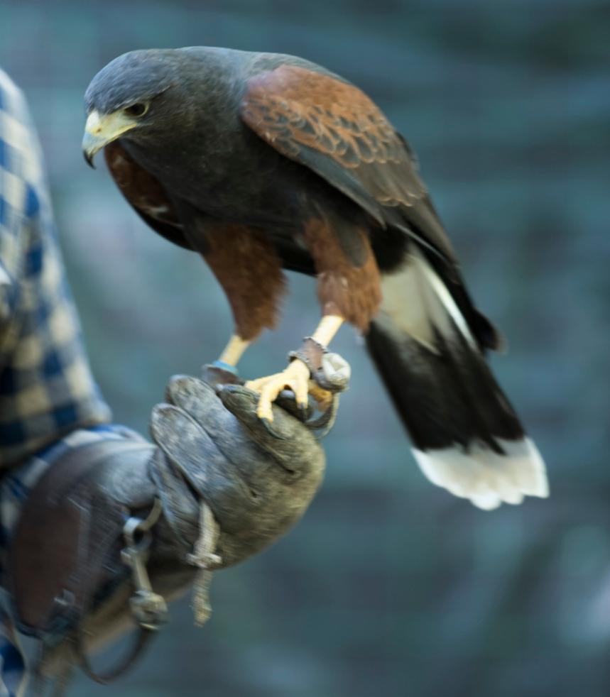 Uma águia apoiada na luva do falcoeiro