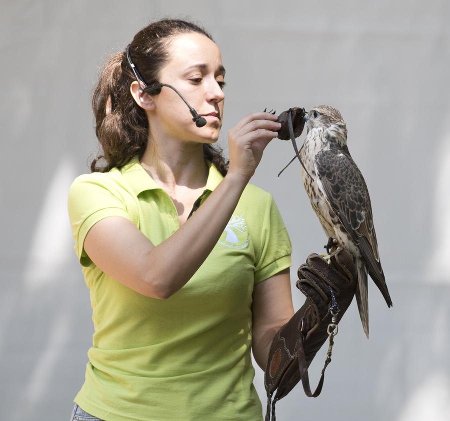 Explicação sobre o comportamnto dos falcões