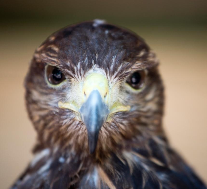 A visão das aves de rapina é determinante para a sua sobrevivência