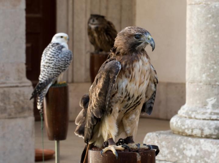 Aves de rapina no Palácio Nacional de Mafra