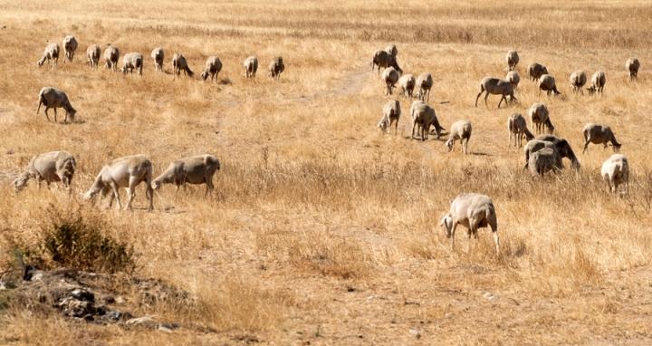 Animais a pastar em terrenos secos