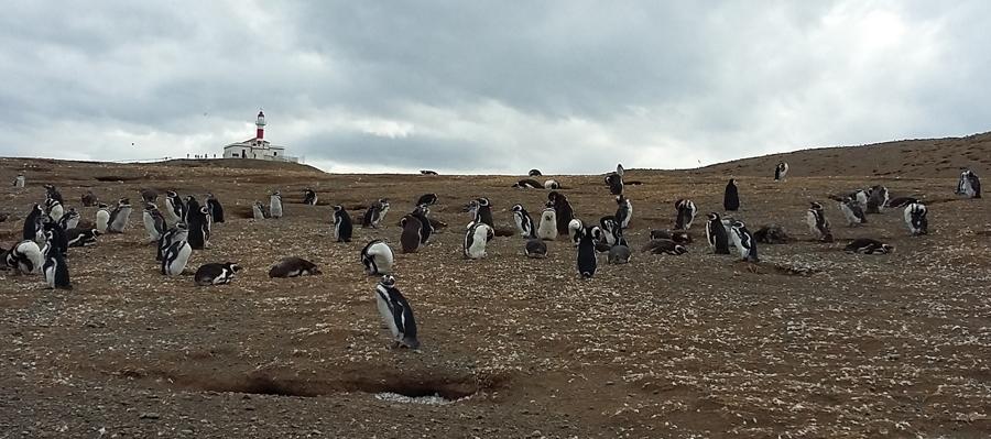Pinguis e muita penungem marcam a encosta até ao farol
