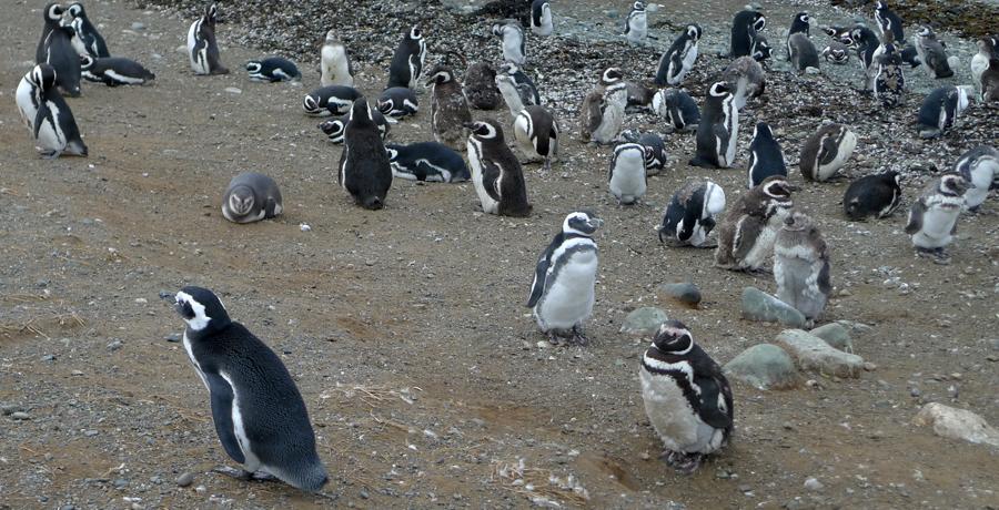 Pinguins próximo do mar
