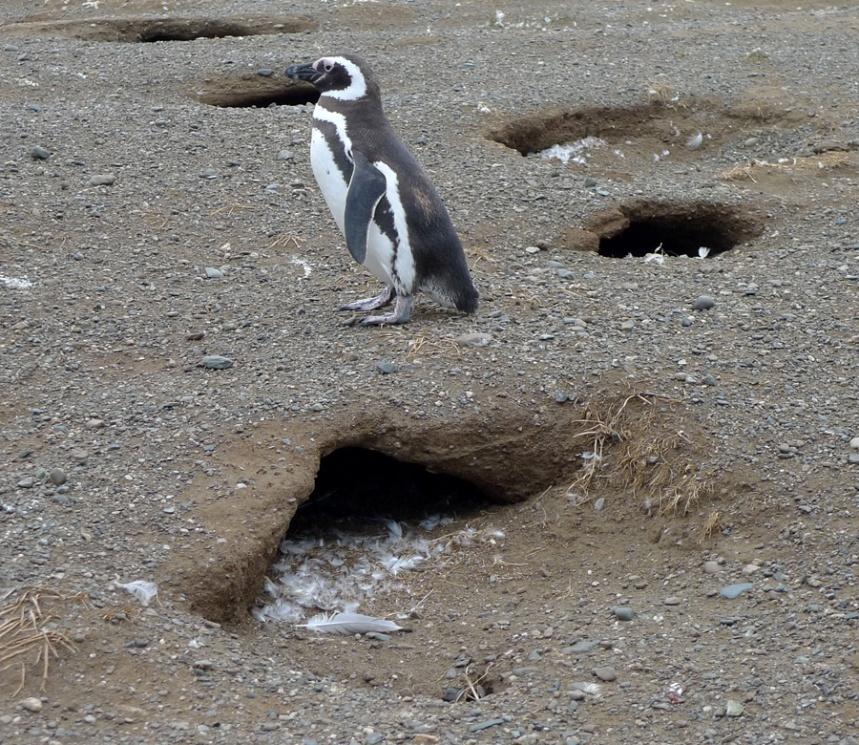 A encosta está repleta de buracos dos pinguins