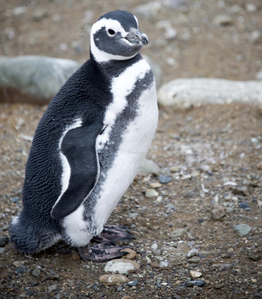 Pinguin próxima da passagem dos visitantes