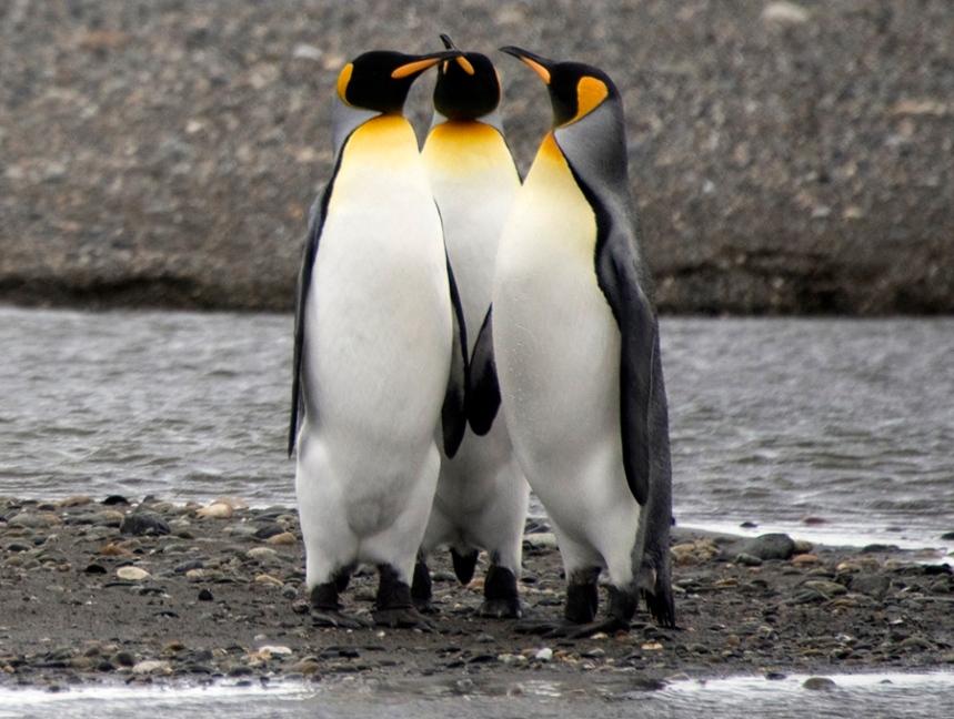 Pinguin Rei chega a atingir um metro de altura