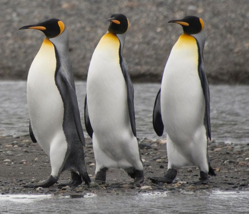 Pinguin Rei na Baía Inútil