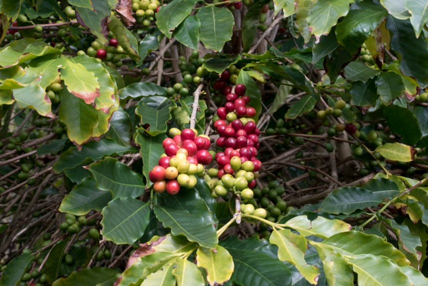 Plantação de café na Fajã dos Vimes