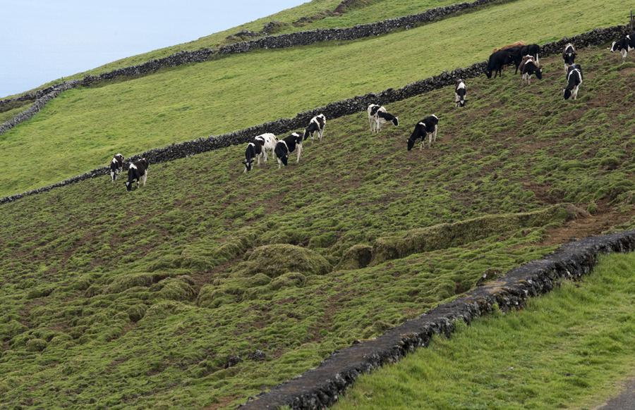 As vacas