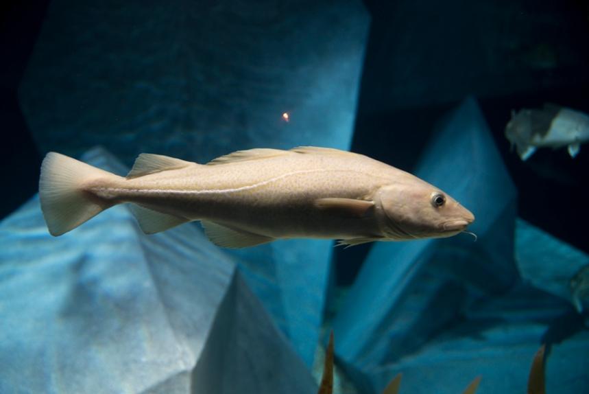 Bacalhaus no aquário