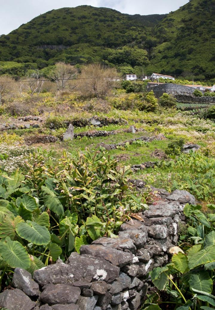 Plantação de inhame