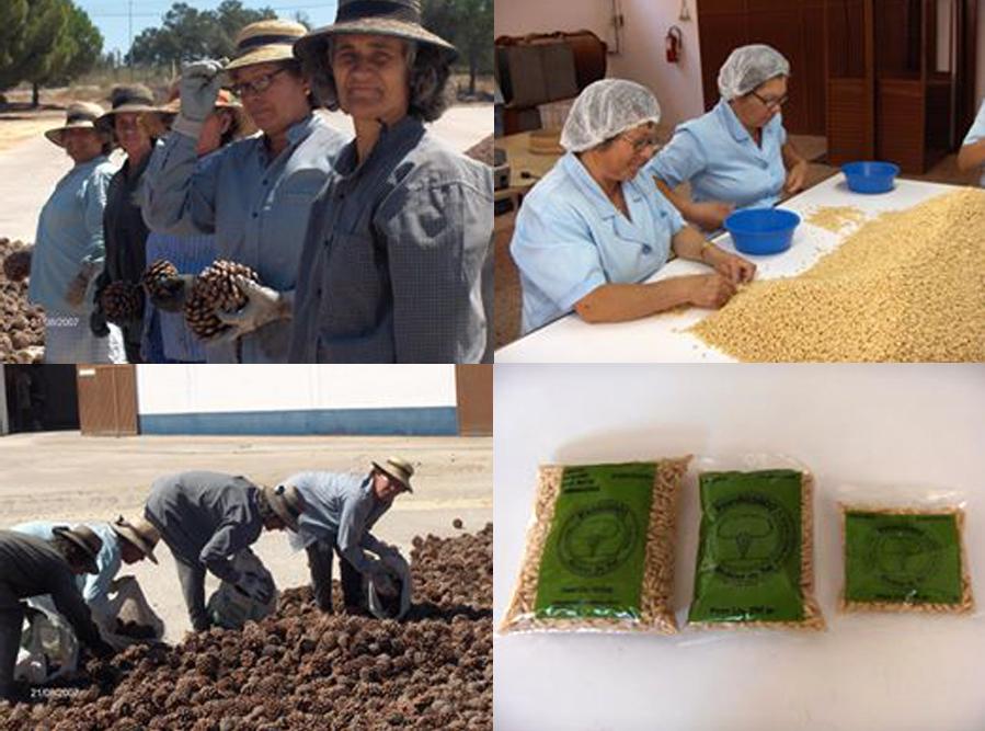 O processo da apanha e da produção do pinhão