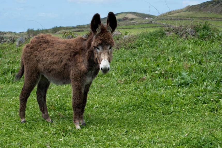 Um dos burros na quinta próximo do Atlântico