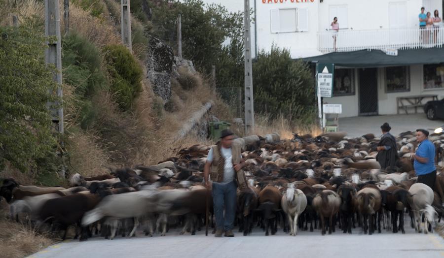 Rebanho de 850 ovelhas no Sabugueiro onde ia passar a noite