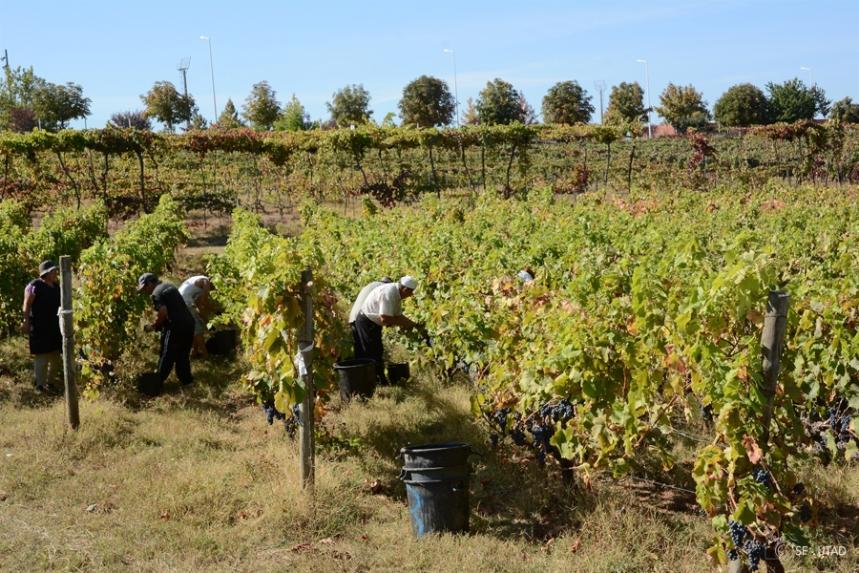 Vindimas nas vinhas da Universidade  ©sf-UTAD