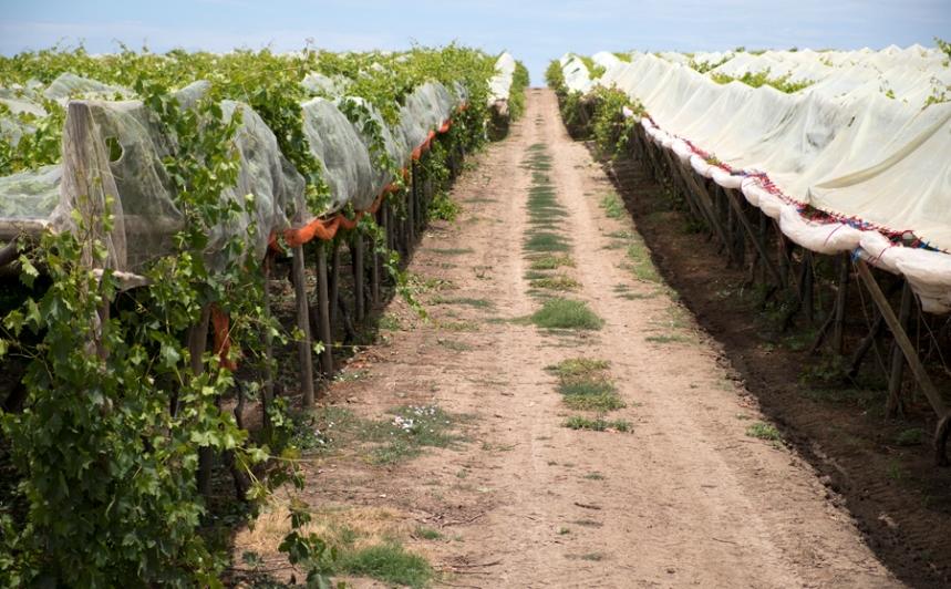 Há vinhas com uma área muito grande
