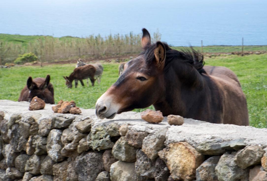Uma mula