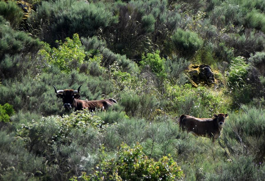 Vacas maronesas ©ATN