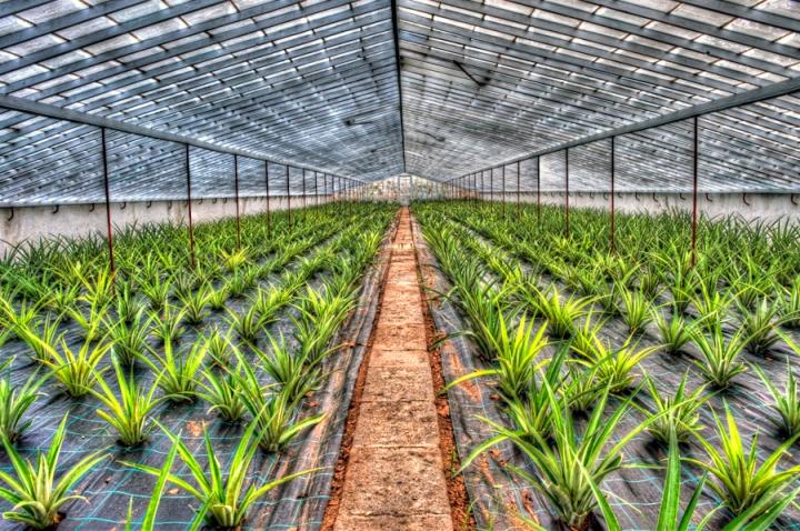 Estufa de ananás