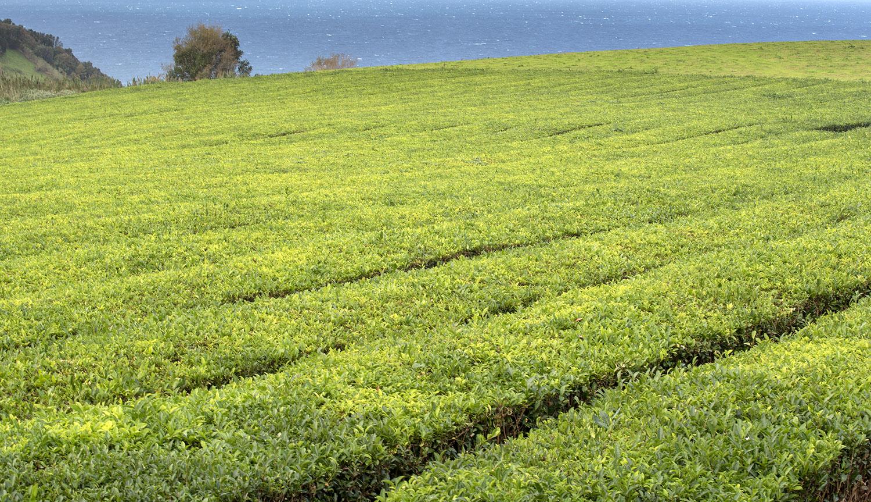 Plantação de chá junto da Gorreana