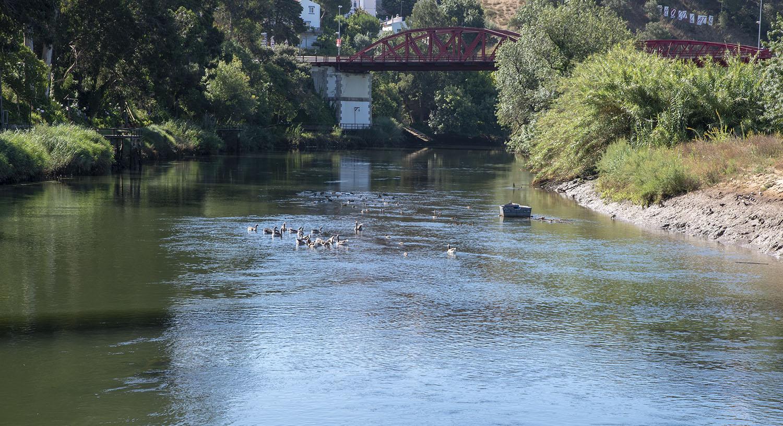 Patos no rio Mira em Odemira