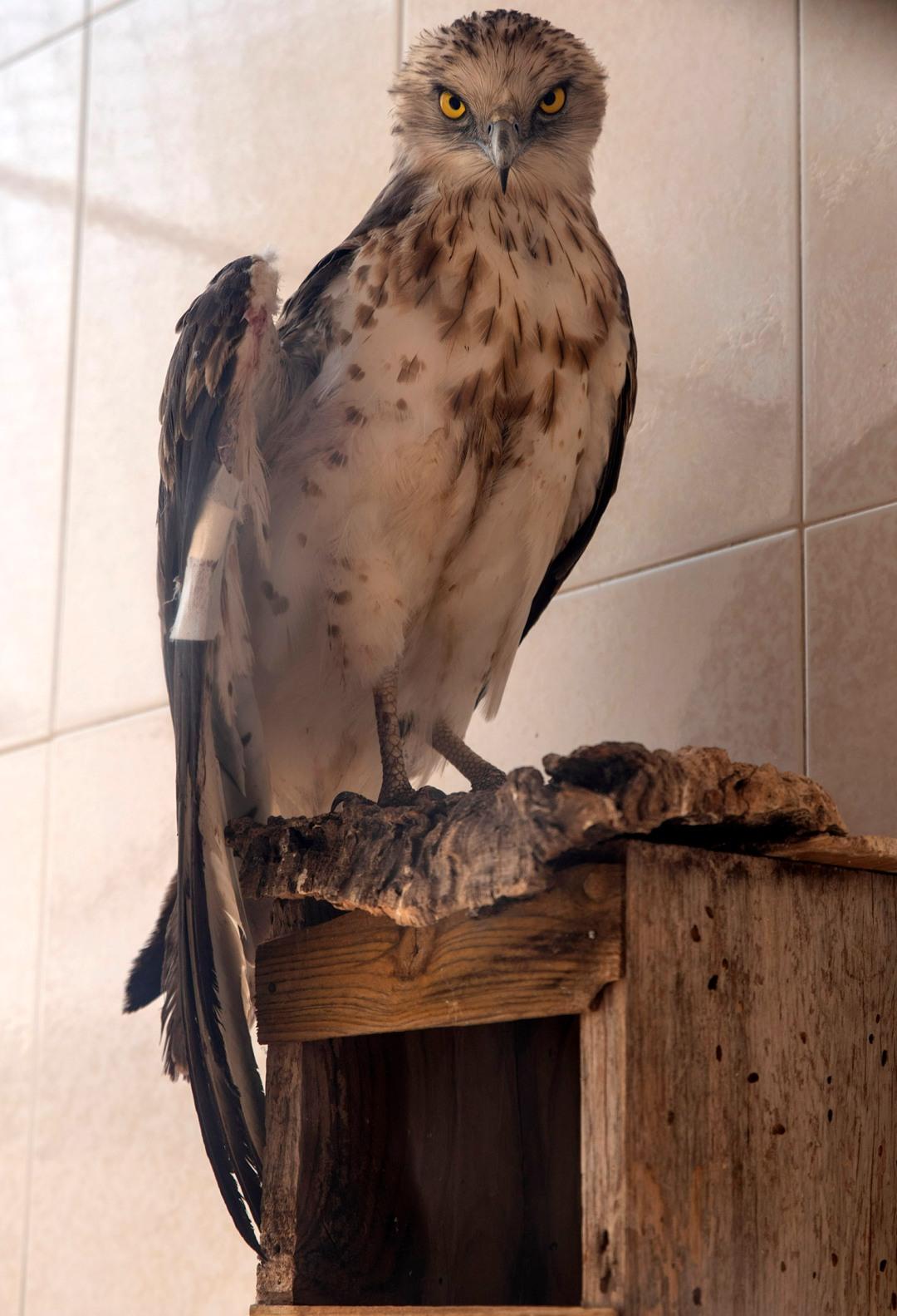 Uma águia que ficou ferida e está em recuperação
