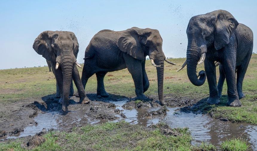 Elefantes africanos no Parque Nacional de Chobe, Botswana