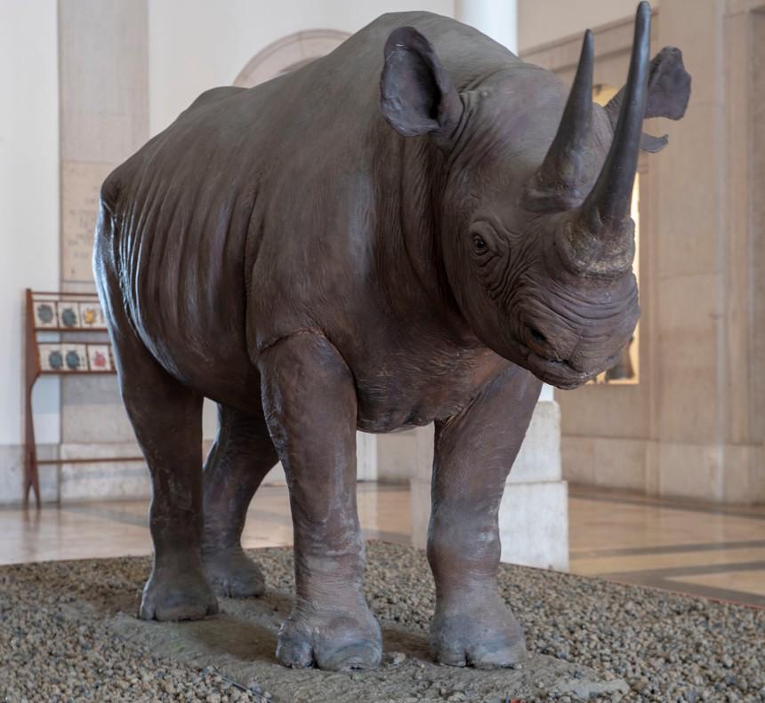 Rinoceronte no Museu de Ciência e História Natural de Lisboa