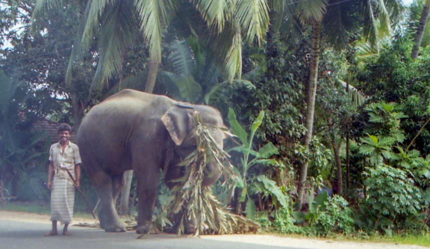 Elefante asiatico - Sri Lanka